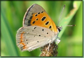 Go To Butterflies - American Copper