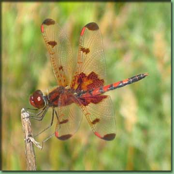 Go To Dragonflies - Calico Penant