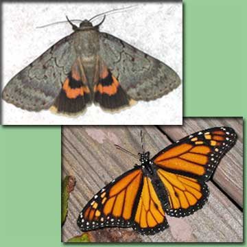 Go To Butterflies & Moths - Serene Underwing & Monarch Butterfly