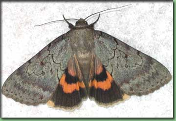 Go To Moths - Serene Underwing